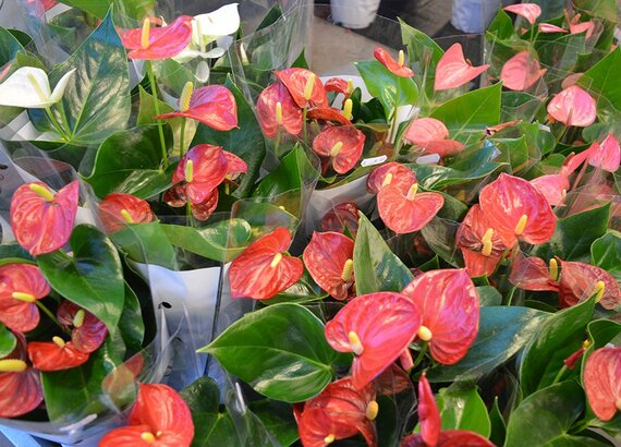 Bloeiende Vetplanten Voor Buiten.Groene Kamerplanten Groencentrum Sonneveld